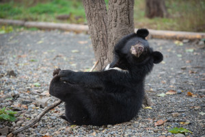 asian black bear cub primorsky safari park