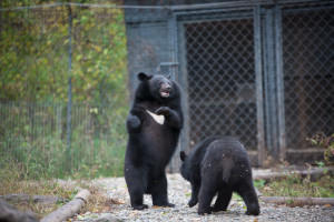 Asiatic black bears safari park primorye tours vladivostok tours animals nature ecotours