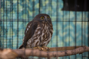 brown hawk owl primorye safari park russia vladivostok tour animals