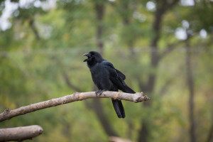 A crow in the safari park of Primorye