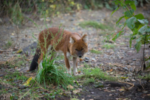 dhole wolf safari park vladivostok tours rare species