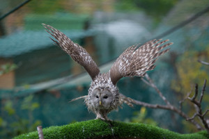 flying owl primorye birds far east
