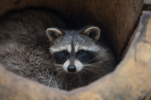 racoon safari park primorye tours vladivostok tours animals nature ecotours