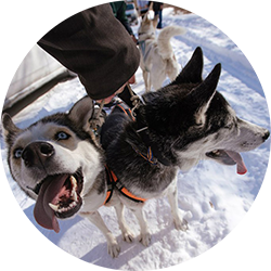 Husky dog sledding experience in Vladivostok