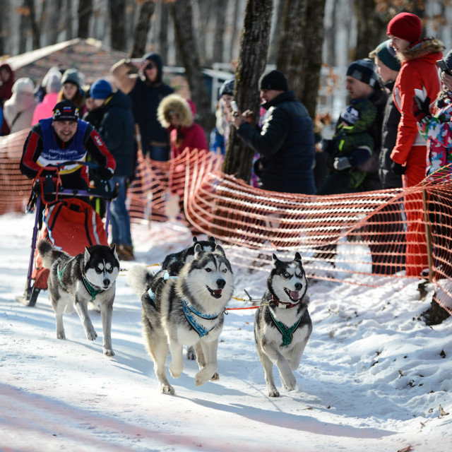 Dog sledding competition